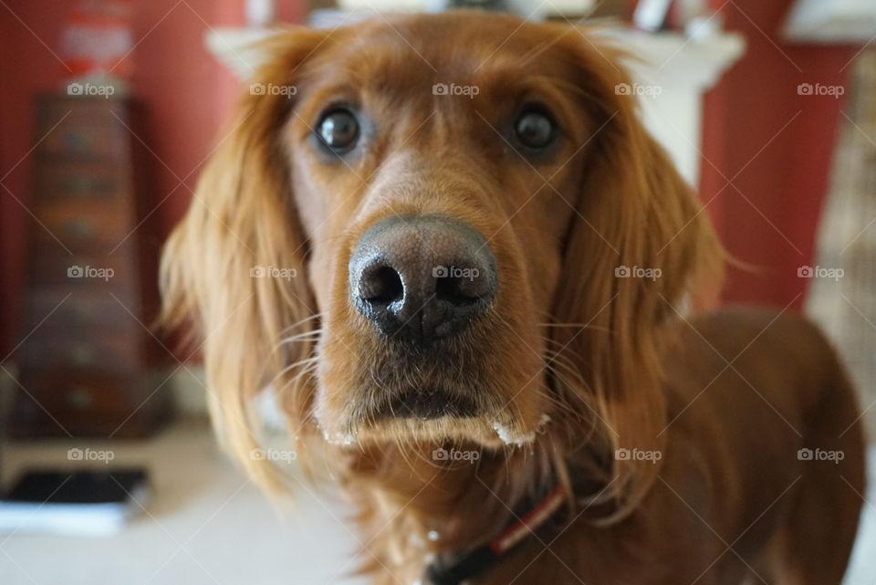 Quinn .. Red Setter Dog Portrait .. pleading face