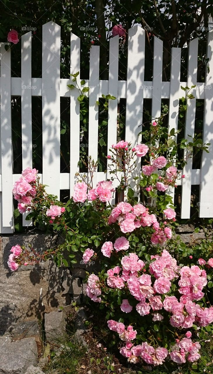 Pink roses near a white fence