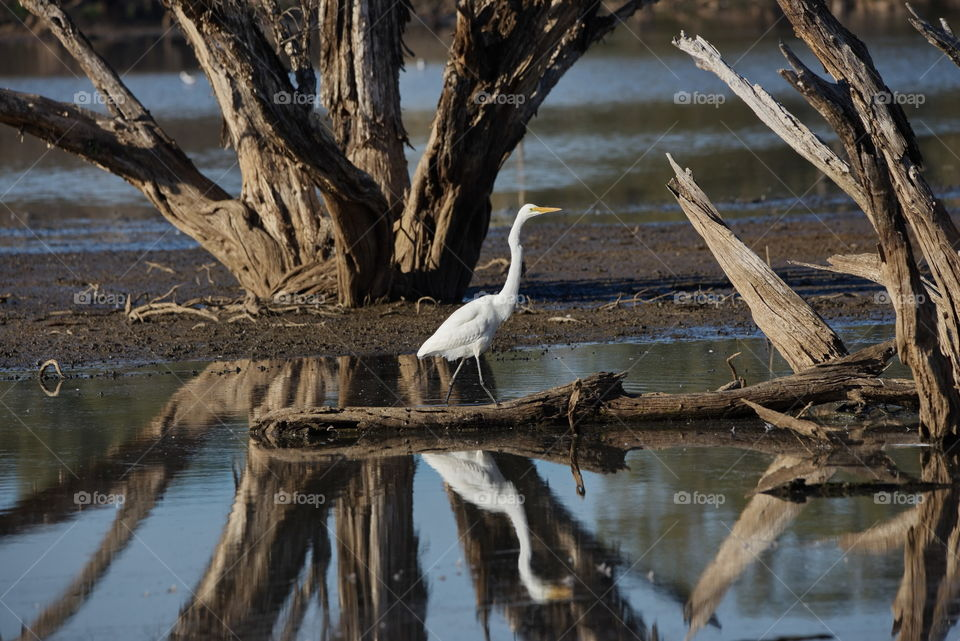 Egret looking for food at a wetlands