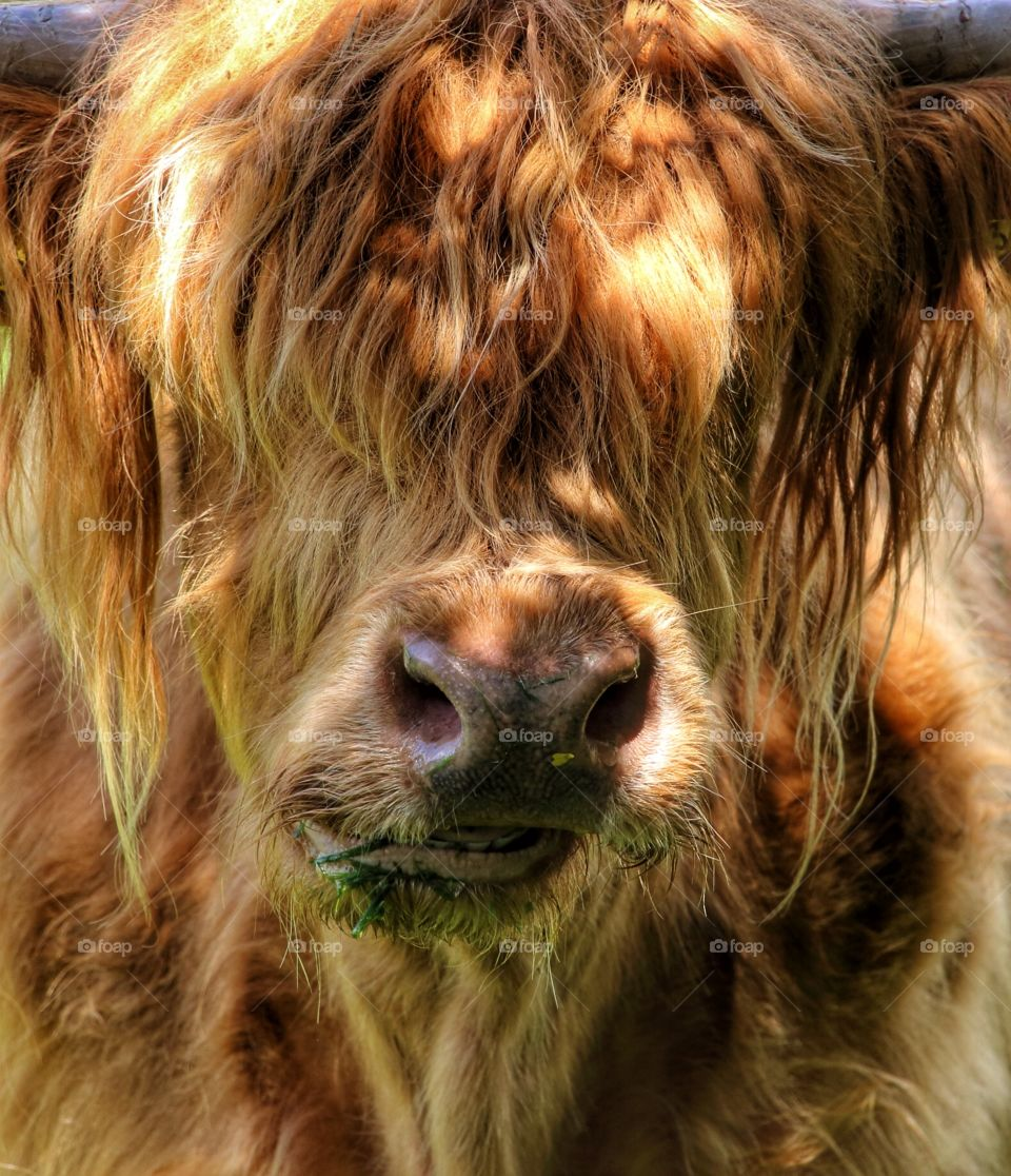 Highland Cow. These hardy animals like a nice clump of grass