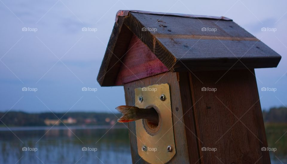 A fishtail in a birdhouse. Tail of a small perch fish coming out from a birdhouse entry on a summer evening by the lake in Nokia, Finland.