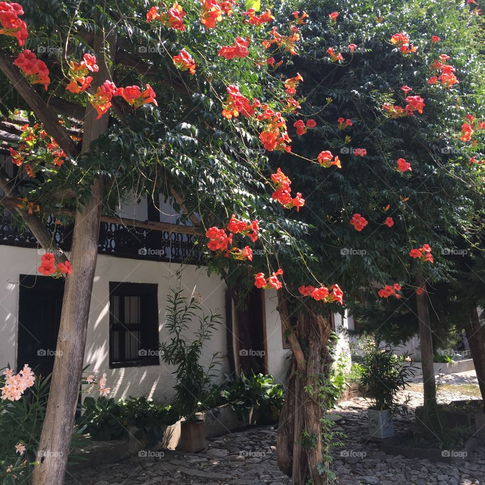 Trumpet vine on the house background