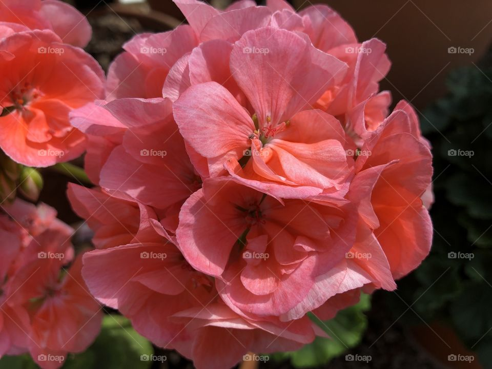 """This second rhododendron is also very appealing with its rather """"precious pink"""" collie."""