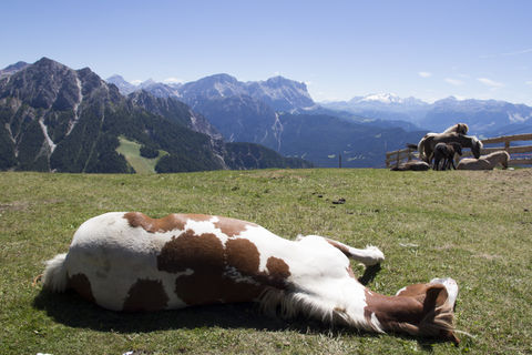 Horse resting in grass