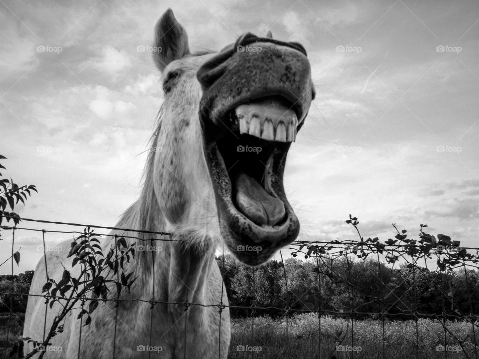 Gray horse laughing