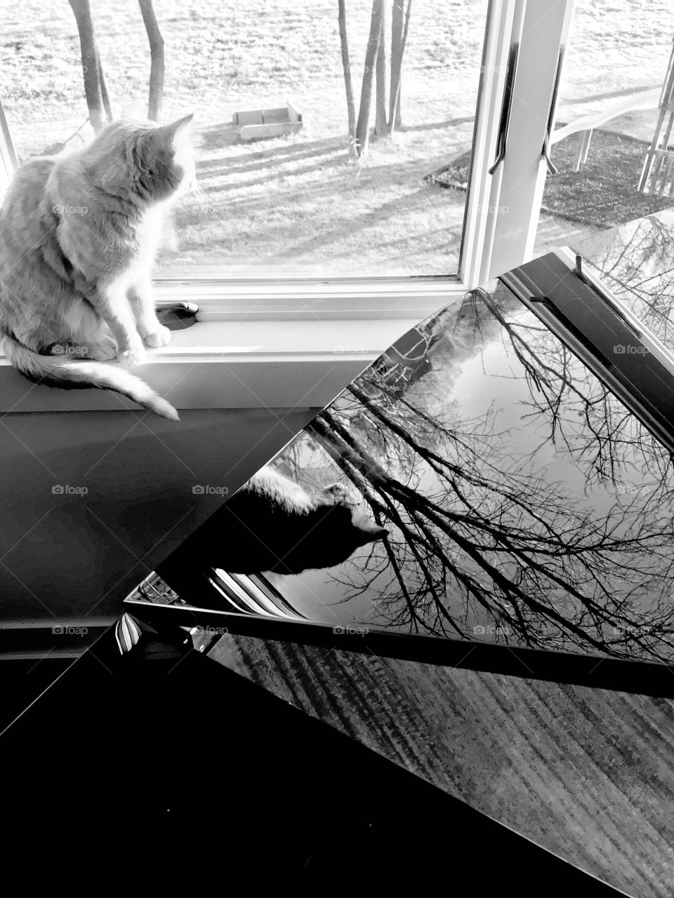Gorgeous black and white photo of tabby cat looking out back sunroom window with reflection of him and trees in lid of baby grand piano.