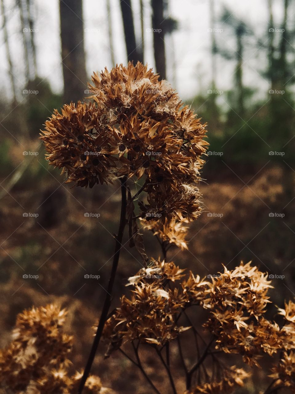 Bronze-colored dried weed in winter's woodlands