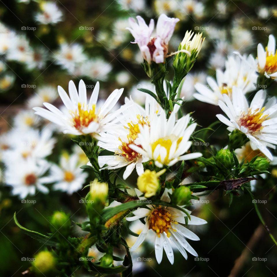 Summer white daisys