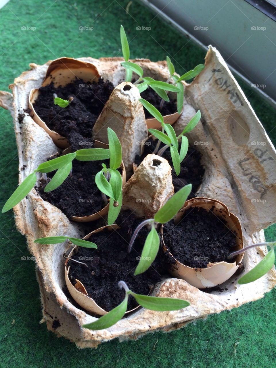 Planting in eggshell. Planting