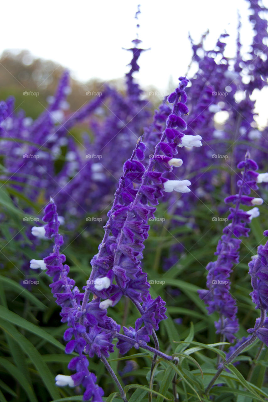 THE PURPLE FLOWERS AT NAPPA VALLEY CALIFORNIA USA