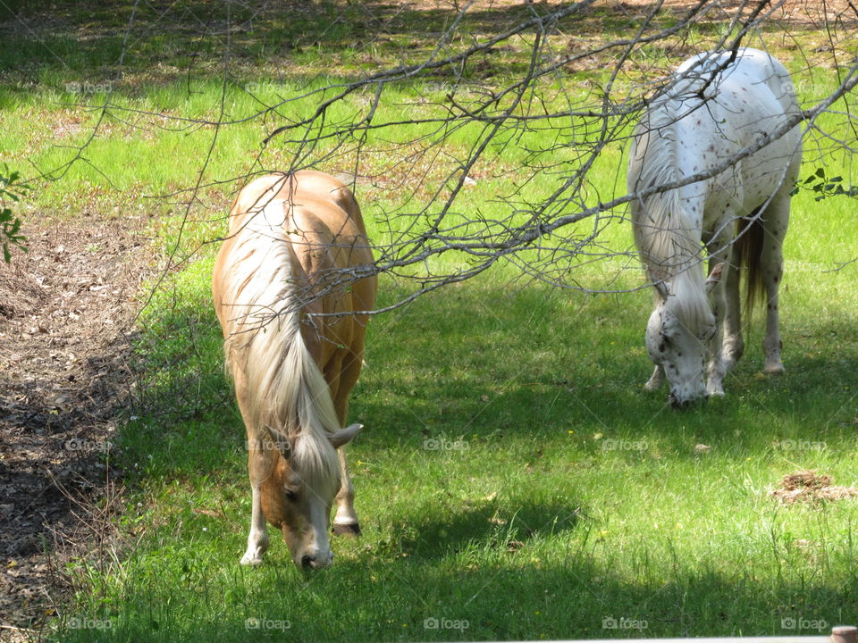 Stallions in the pasture grazing