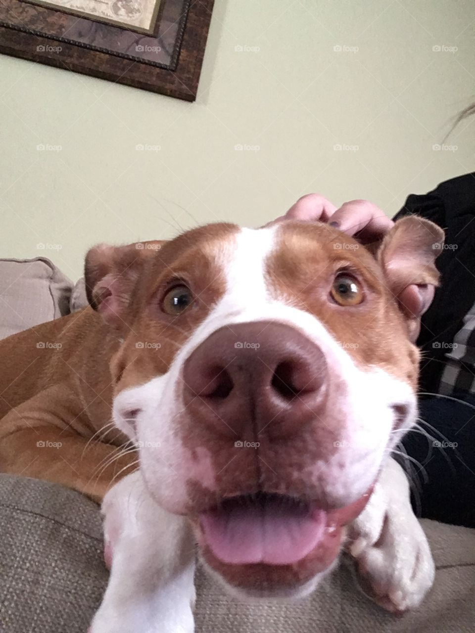 The most adorable rescue pitbull ever with tongue sticking out smiling