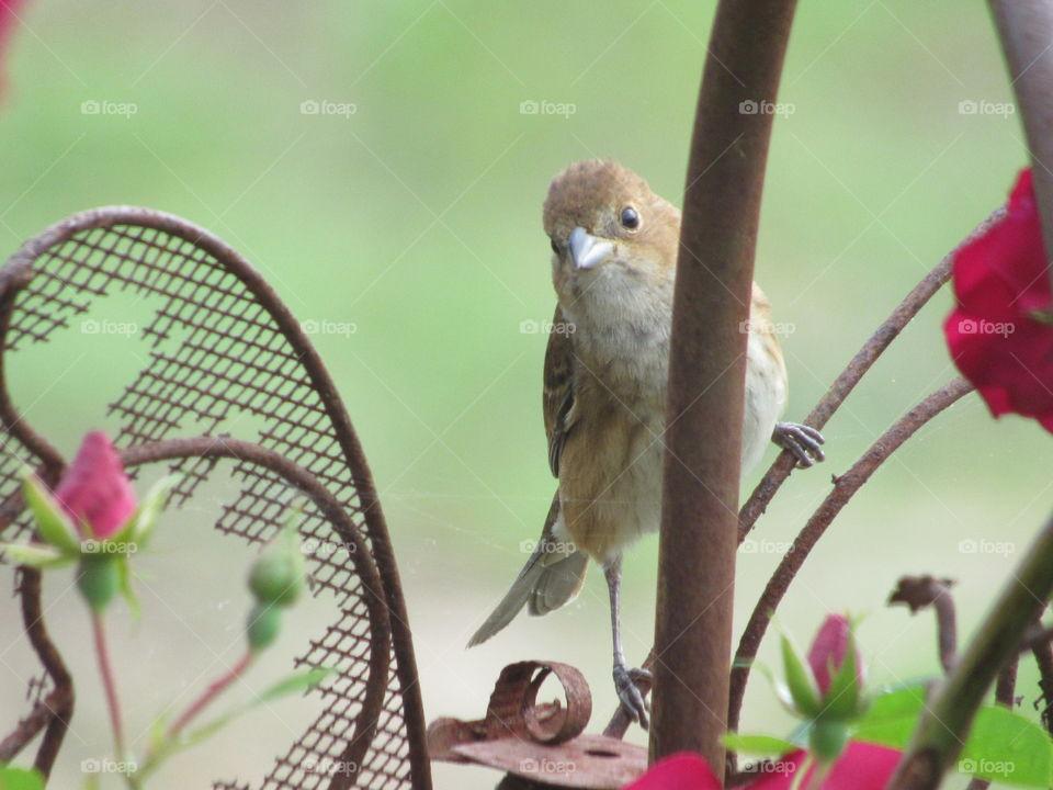 Fledgling cowbird in a rose bush looking at me