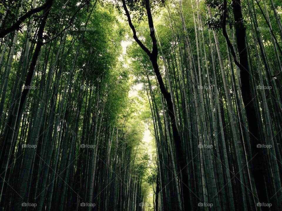 View of bamboo forest, Arashiyama, Kyoto Japan