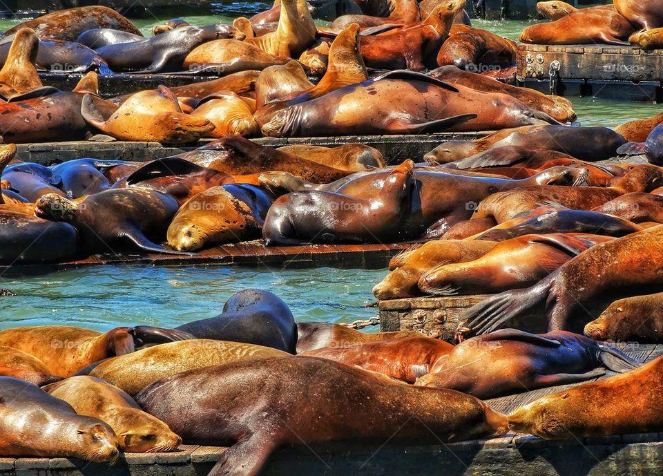 Crowd of harbor seals in San Francisco Bay