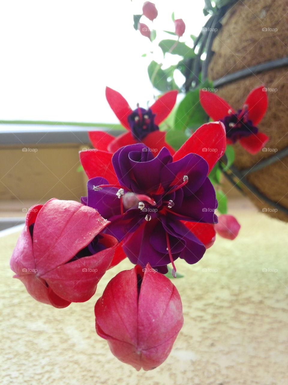 Fuchsia  flowers from bottom