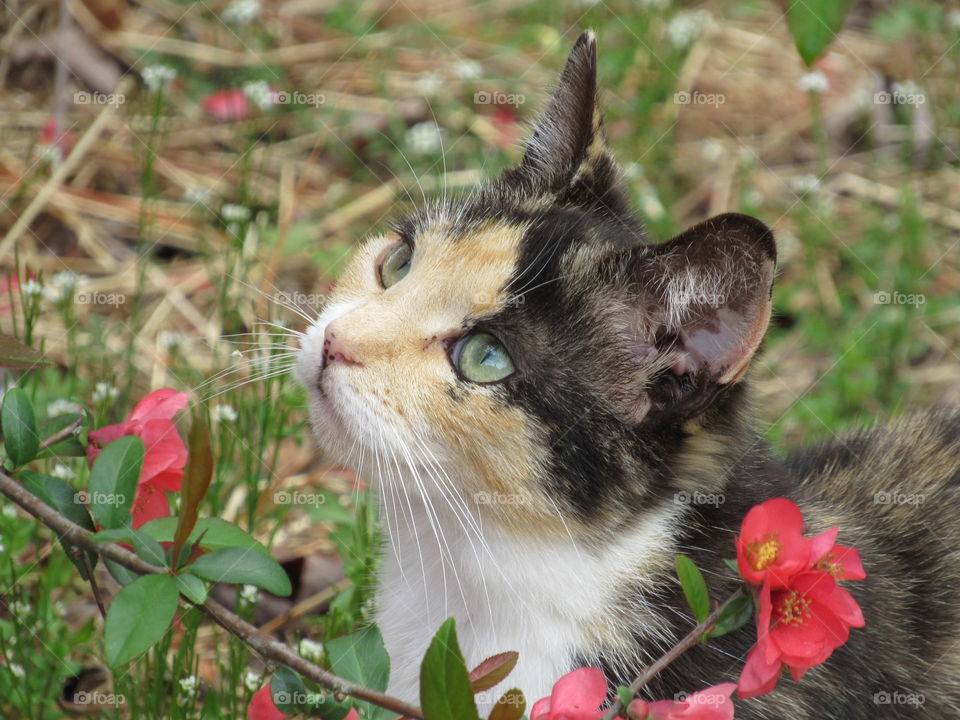 Portrait of a Calico cat beside a blooming Japanese Quince bush