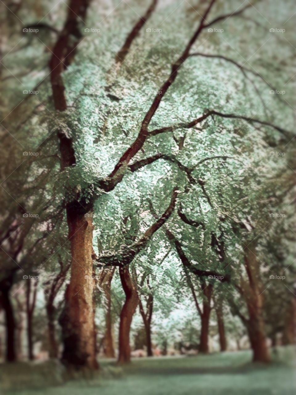 American Elm Trees - Central Park, New York City.