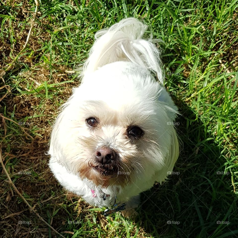 Cute maltese shitzu looking up at the viewer