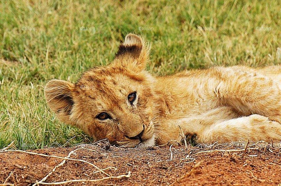 Lion cub relaxing