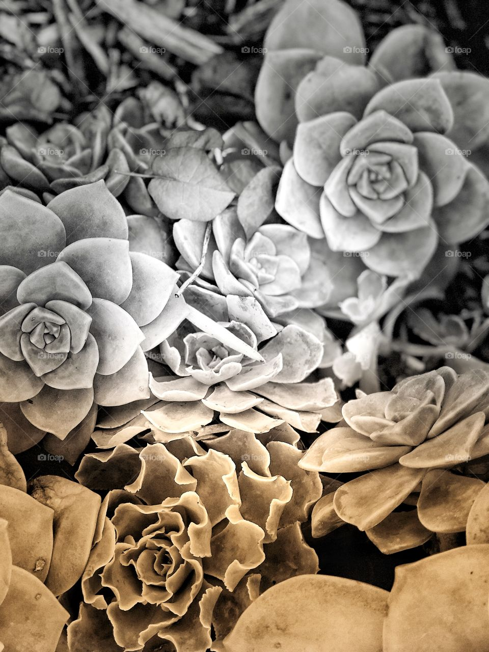 Incredible and Wonderful Canvas Art, Black and White Succulents with Golden Hints
