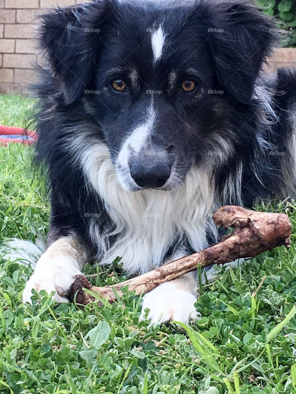 Border collie sheepdog closeup as it prepares to Munch on a dog bone