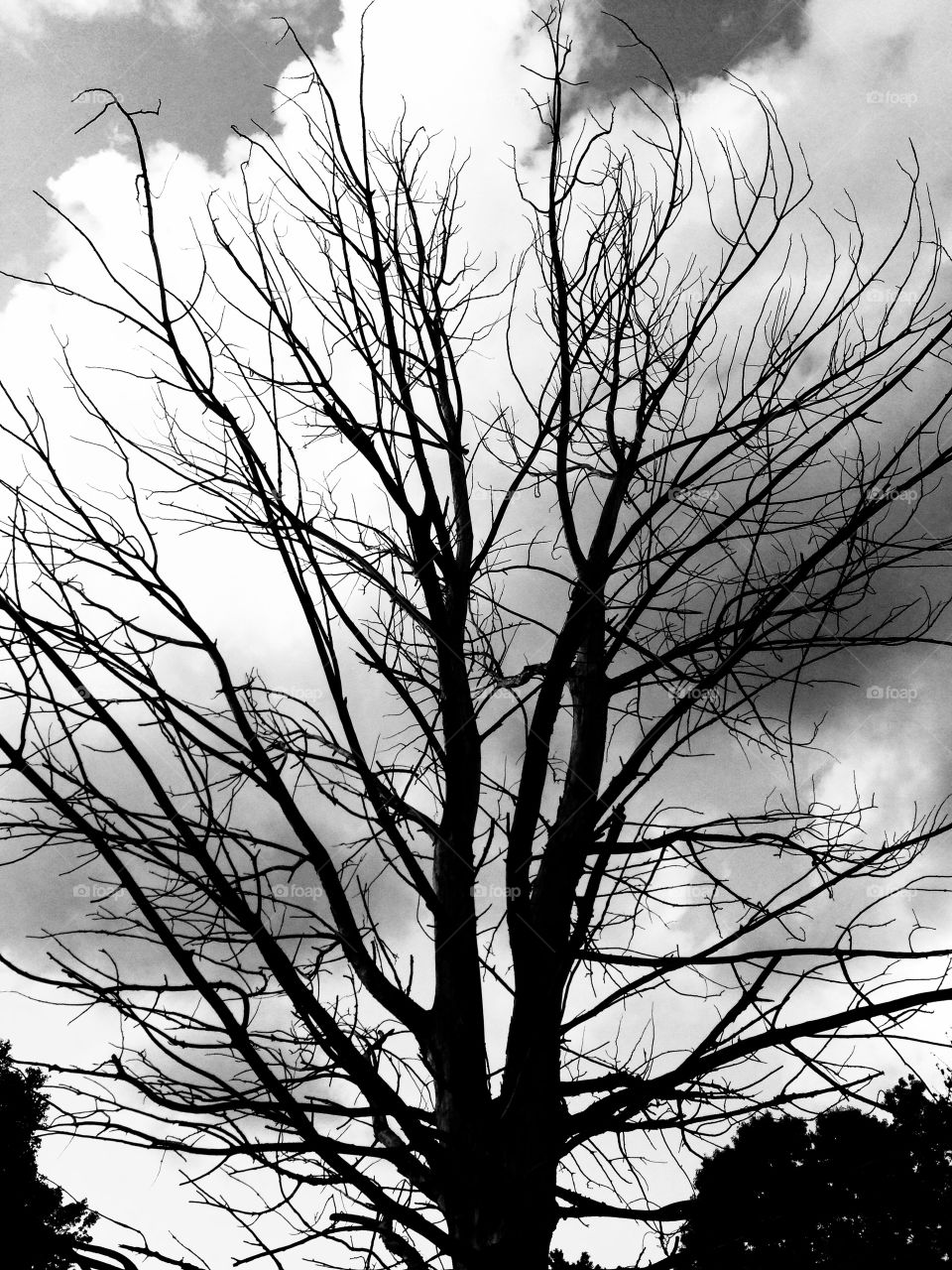 Artistic Tree. A dead tree is silhouetted against puffy clouds.
