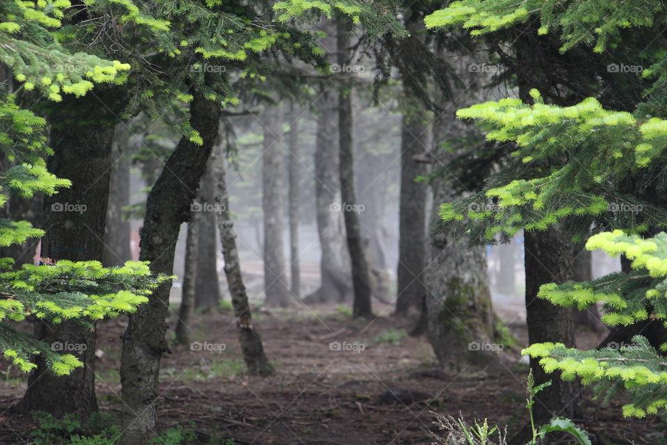 Magical foggy forest