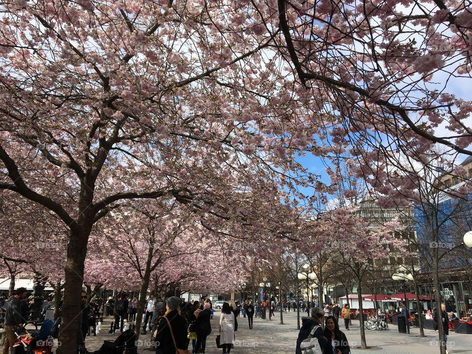 Cherryblossom park