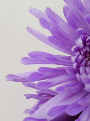 Purple flower against white background