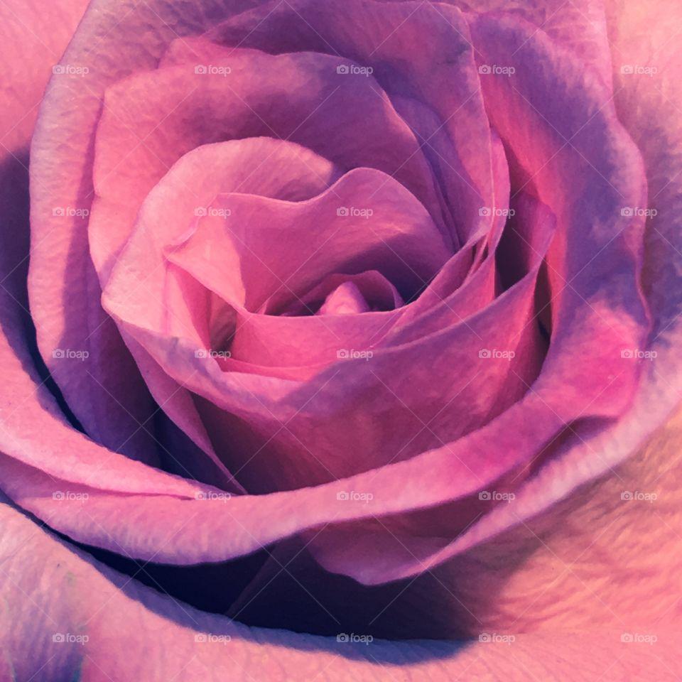 Lavender Purple Rose, macro photo.🌹