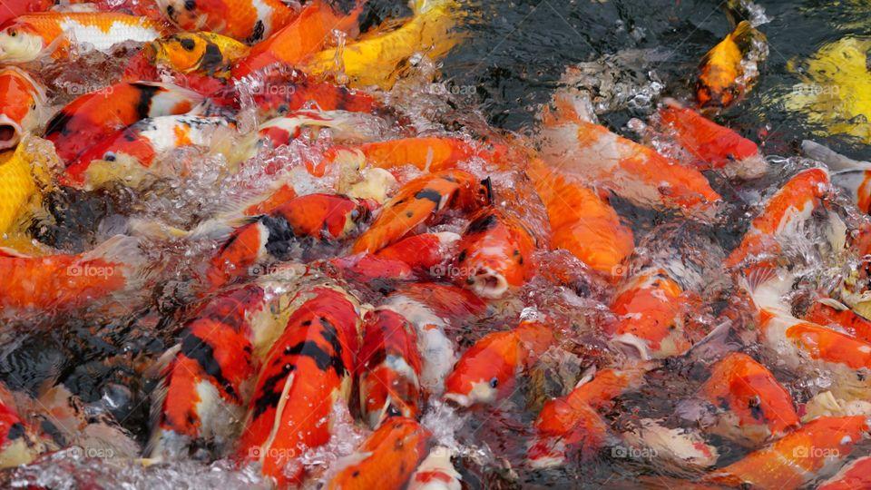 KOI fish in DUNG TAN, CAI DAN town, SONG CONG city, Viet Nam