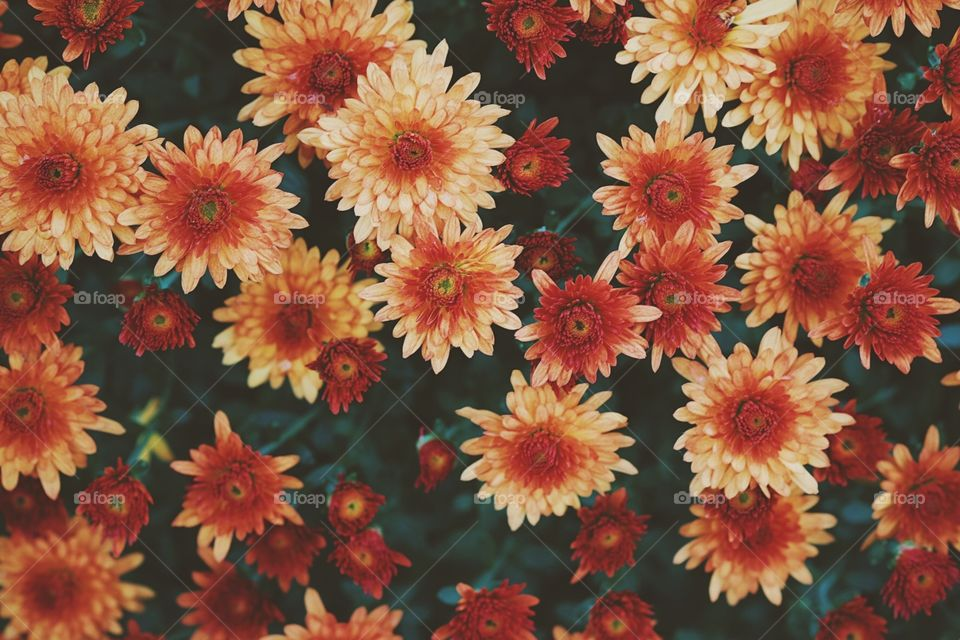 Burnt Orange Flowers, Flowers In Autumn, Fall Colors In Flowers, Beautiful Colorful Fall Time Flowers, Mums In The Fall Time