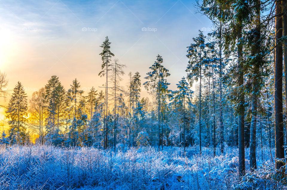 Winter wonderland as a sunset glows behind a pine forest