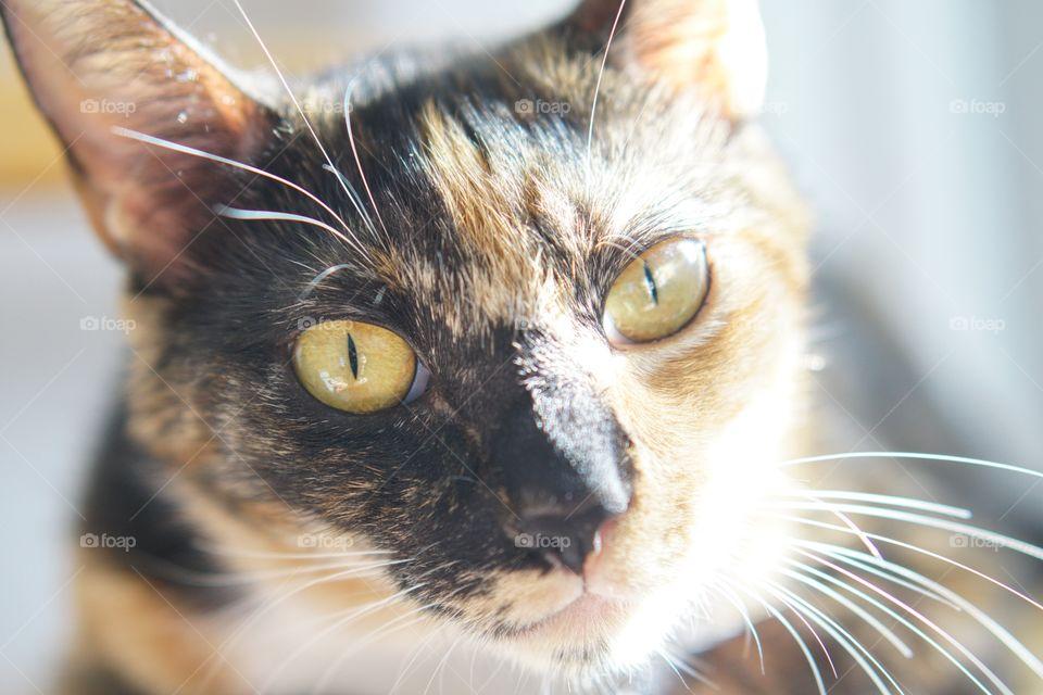 Cute, Cat, Eye, Fur, Pet