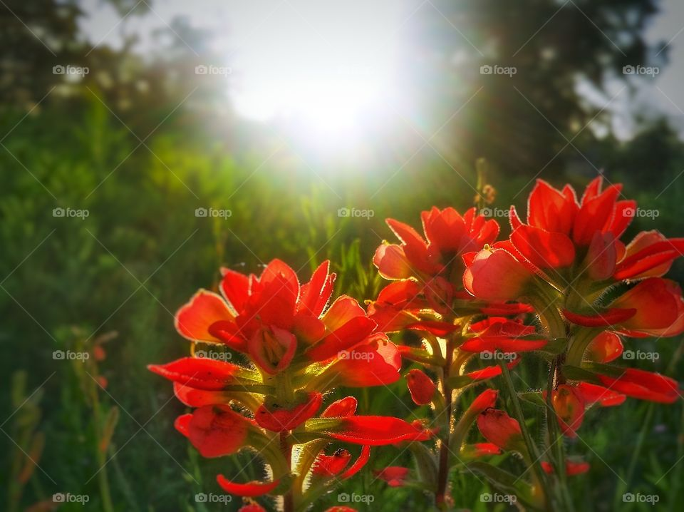 Red Indian Paintbrush wildflowers in a green grassy field clash of color