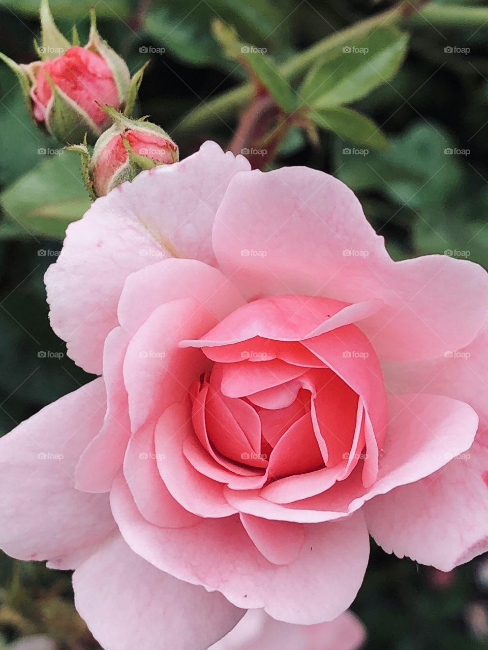 Fabulous Pink Roses