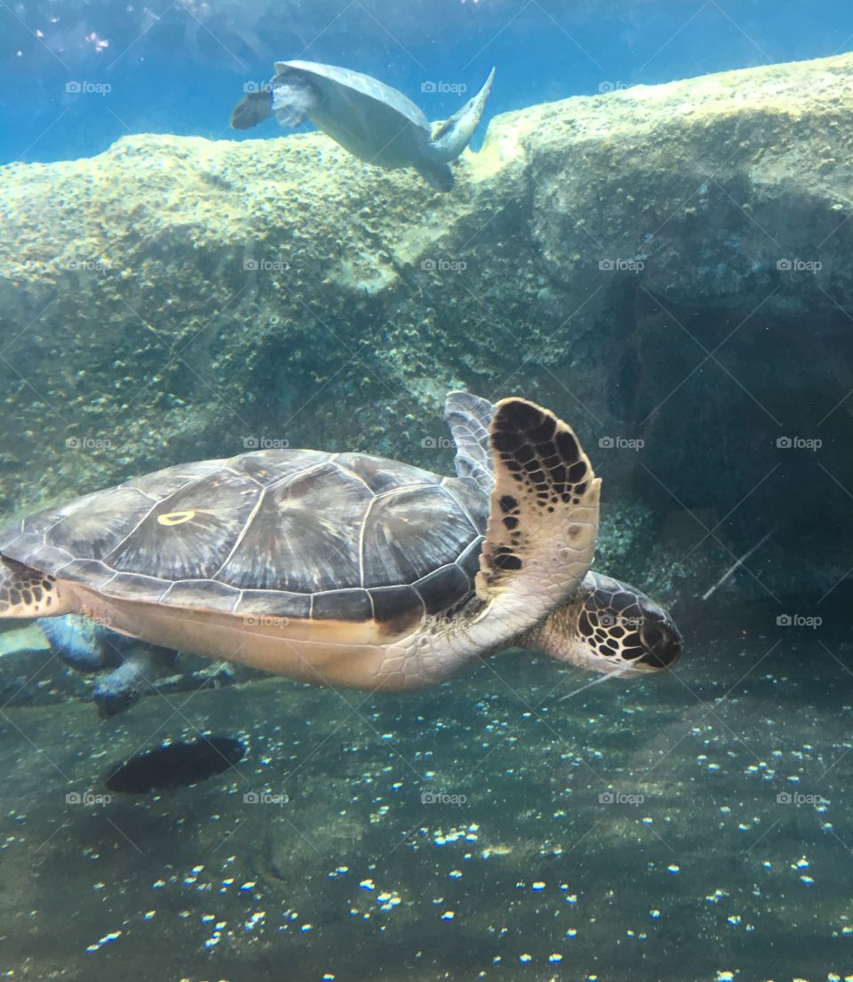 A turtle swimming at the Maui Ocean Centre in Hawaii