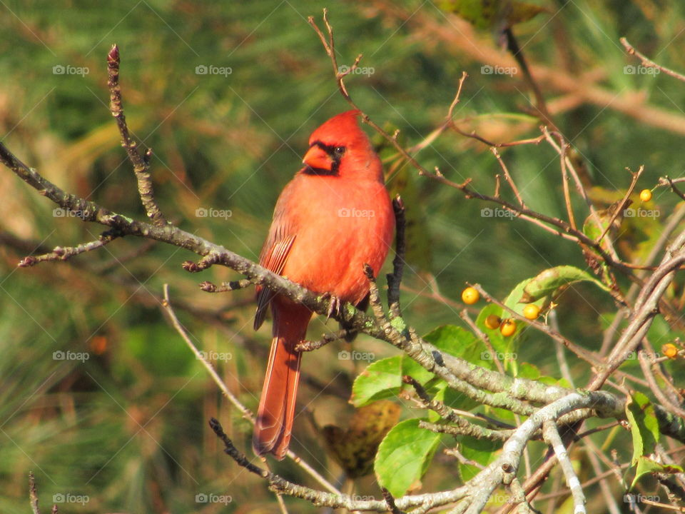 Male Northern Cardinal in the Sweet Gum tree