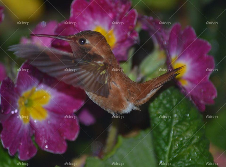Rufous Hummingbird happy inflight with raindrops on it's head. Rufous Hummingbird happy inflight with raindrops on it's head, purple primrose 4/10/15