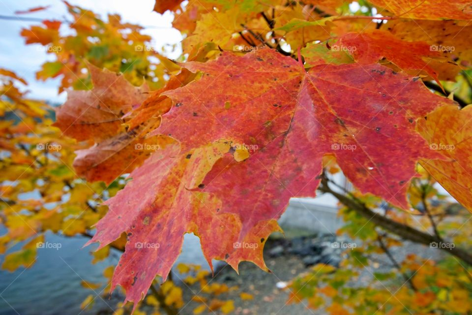 The sweet smell of maple during fall