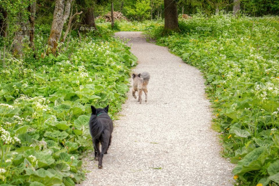 Dogs running on a path