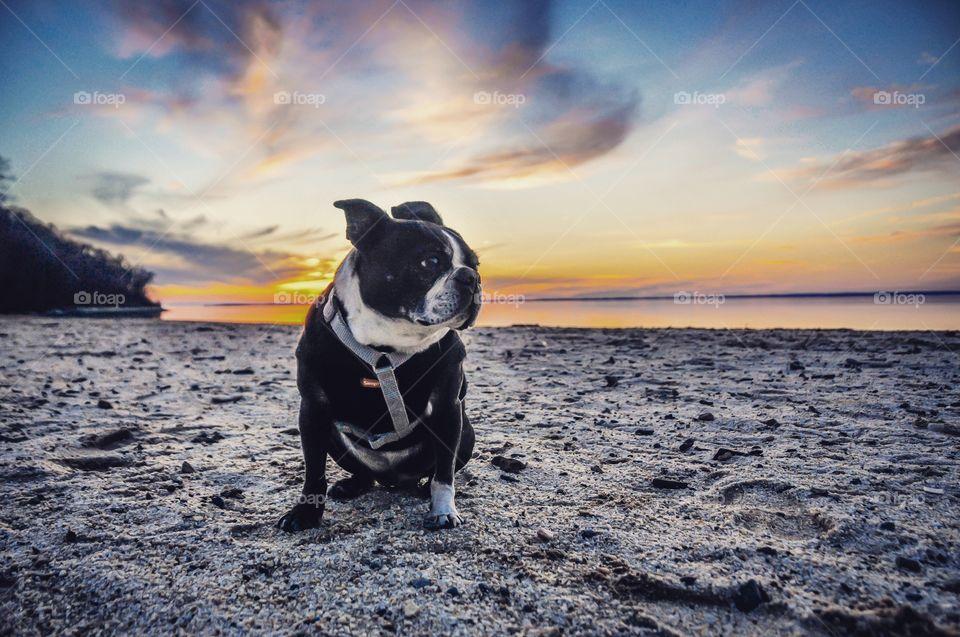 Portrait of a black dog sitting on beach at sunset