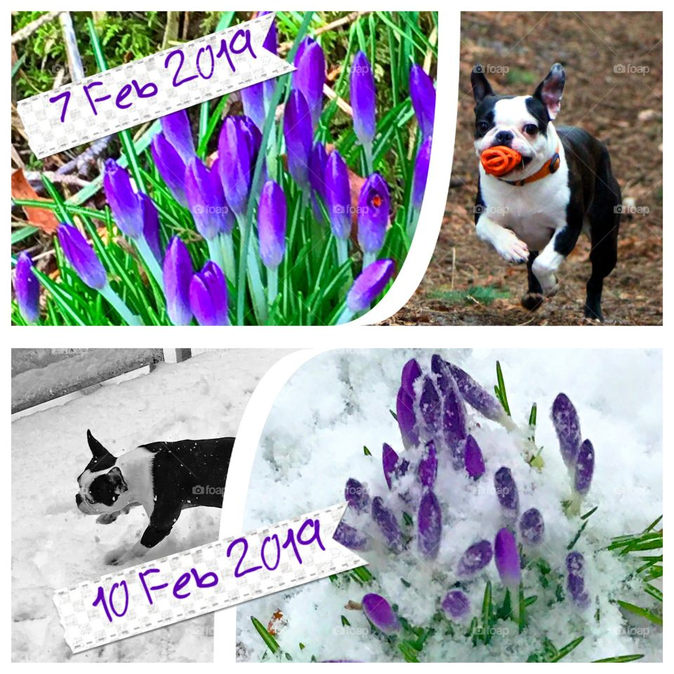 Collage of Feb photos. In three days we went from 'spring has sprung' to an unusual Feb snowstorm. At least unusual fo the Pacific Northwest! The shot is the same clump of purple crocuses & my pup playing in the dirt & then in the snow!!! ☀️