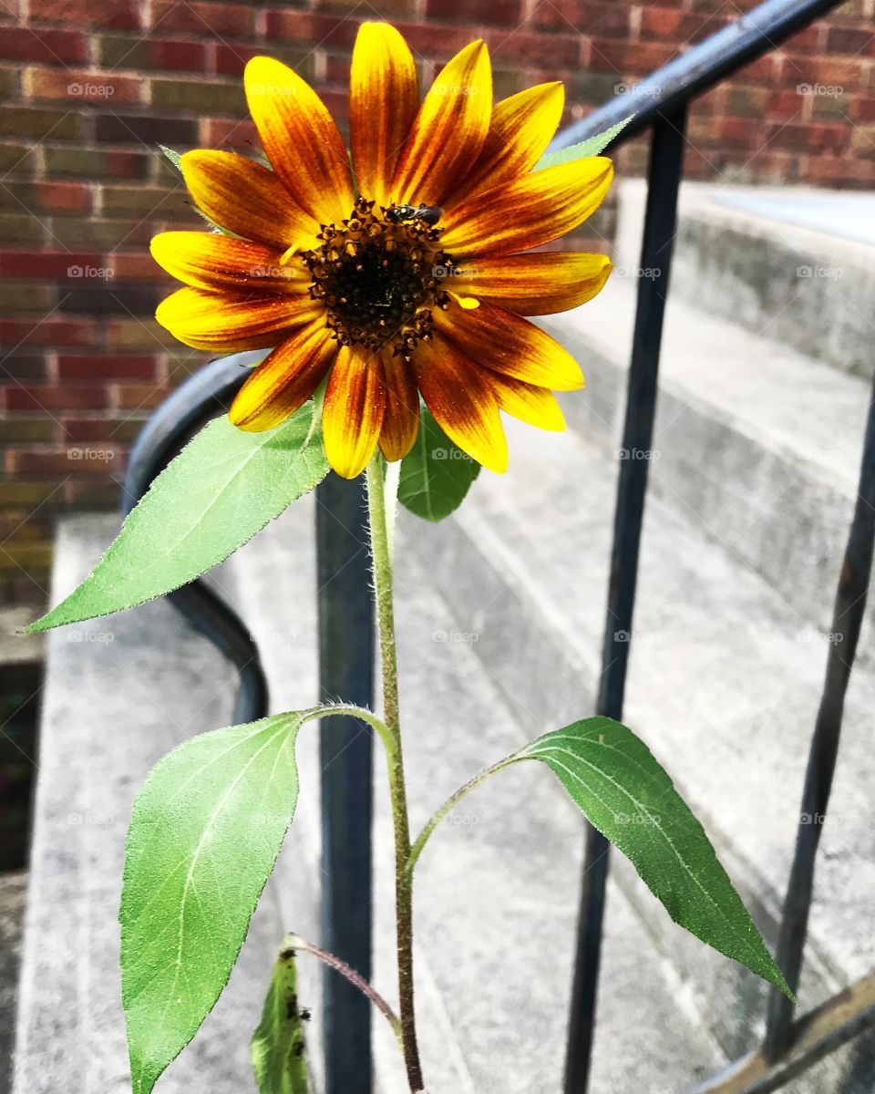 Orange yellow Sunflower bloom by concrete steps