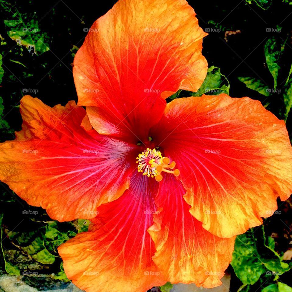 tangerine hibiscus