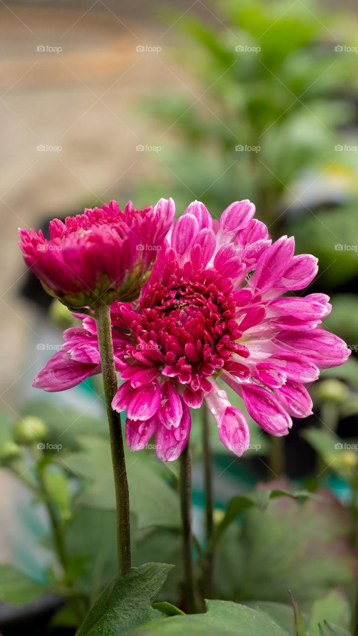 Pink Chrysanthemum Flower