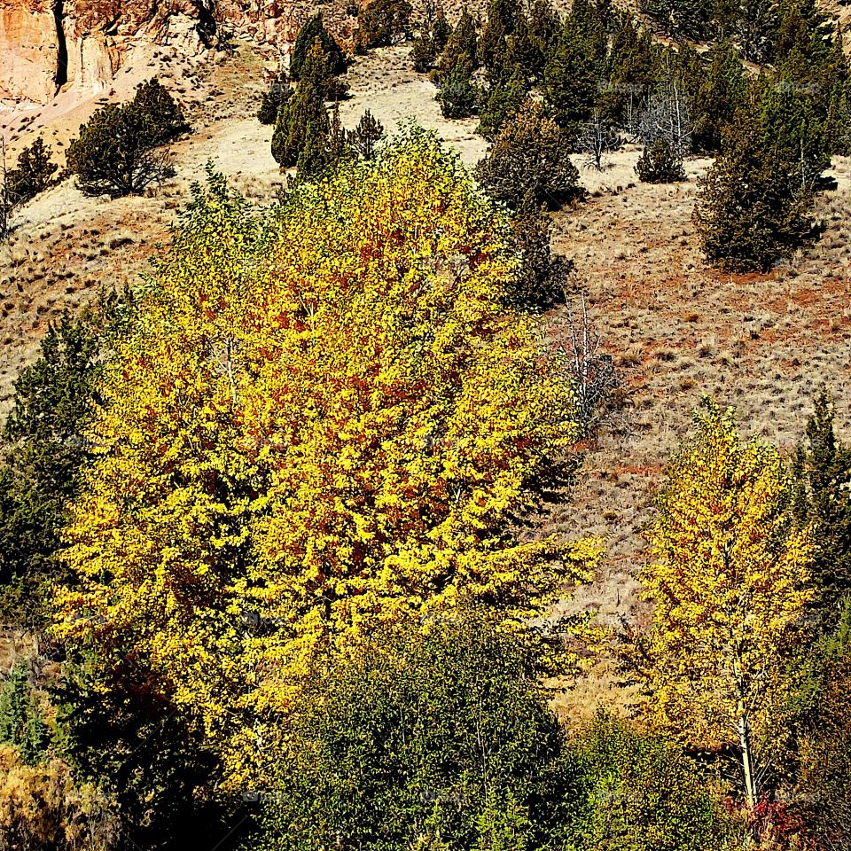 A group of brilliant deciduous trees in their beautiful fall colors of yellow and gold against a hill with juniper trees on a sunny fall day in Eastern Oregon.