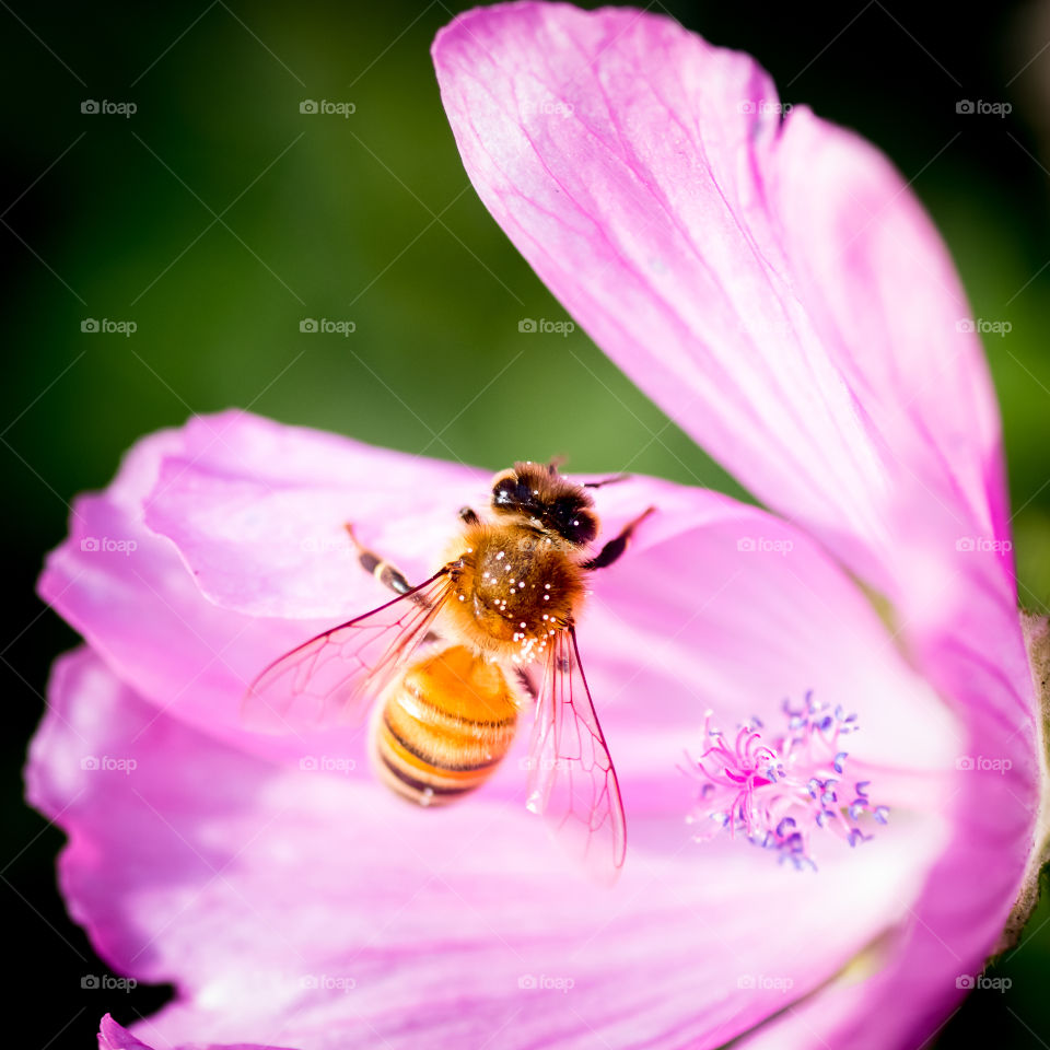 honeybee and the flower. small pollen covered be and the beautiful pistols of a purple flower