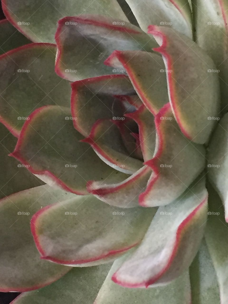 Succulent with Red